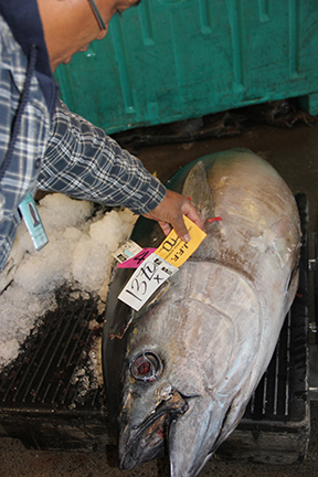 With limited supply during the closure, prices for bigeye tuna (`ahi) skyrocketed at the Honolulu fish auction. At $13.70 a pound, this 214-pounder was worth nearly $3,000 off the boat.